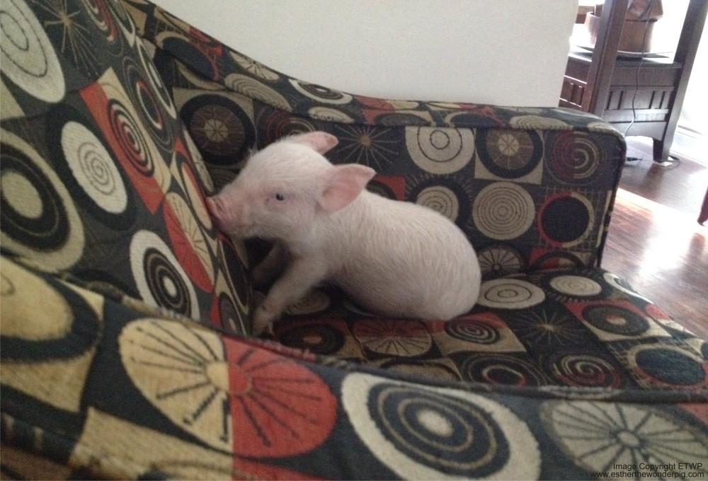 20140429163731-tiny_pig