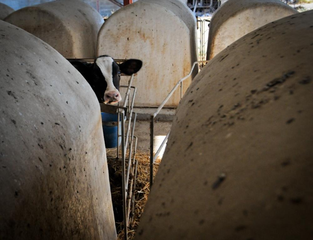 jmcarthur_dairyvealfarm_-1678
