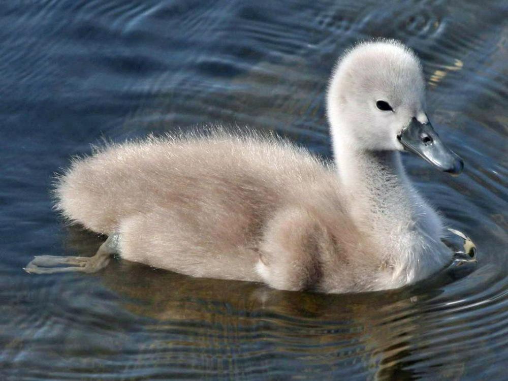 swan, mute 05-29b SCOT.jpg