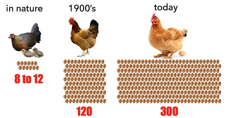 rates-of-egg-production-in-hens-over-years